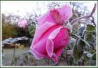 Réveil givré pour les fleurs ce matin - 2  (07/11/2017)