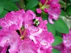 Rhododendron et bourdon