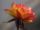 Rien qu'une rose
