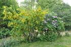 Robinier faux-Acacia & Lila