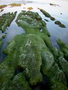 """Roche """" animal """" couvert d'algues"""