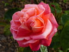Rose à coeur double