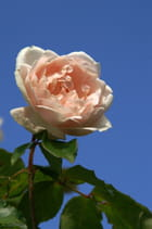 Rose ancienne...
