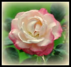 rose blanche aux bords rose