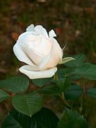 "Rose blanche ""Princesse de Galles"""