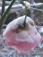 Rose-cloche
