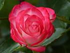 Rose Cocorico