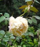Rose crème