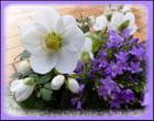 Rose de noël et campanule