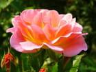 Rose de Palerme
