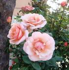 Rose de vence