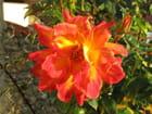 Rose dentelle