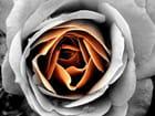Rose en larmes