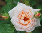 Rose et bourgeons