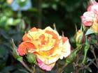 Rose et soleil