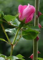 Rose fleurissante