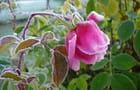 Rose givrée du 26 octobre