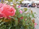 Rose In City