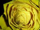 Rose - jaune