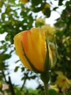 Rose jaune de Taizé