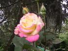 ROSE jaune-rose