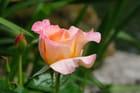Rose King Arthur