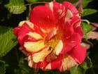 Rose meli-melo