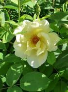 Rose primaire