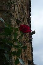 Rose rouge grimpante