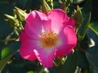 Rose sous la lumière