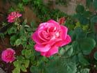 Rose sous la lumière 2
