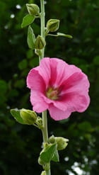 Rose trémière d'Ameugny