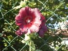 Rose  trémière foncée