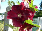 Rose trémière ou passerose pourpre