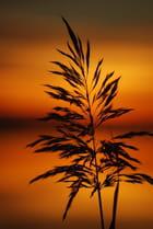 roseau dans le coucher de soleil
