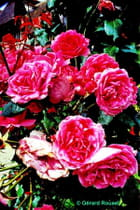 Roses à Deauville juillet 2006