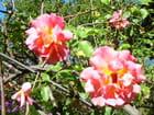 Roses alpines