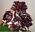 Roses chocolat
