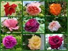Roses de mai 2018 dans le jardin