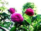 Roses de mai.