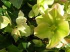 Roses de noël à vertou