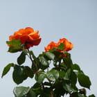 Roses oranges au vent