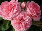 Roses perlées