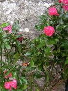 Roses rouges sur mur gris
