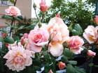 Roses Tango (rose de vence)