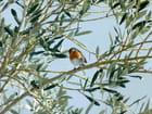 Rouge-gorge dans l'olivier du jardin