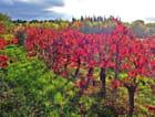 Rouges vignes après vendanges