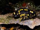 Salamandre