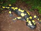 Salamandres ou tritons