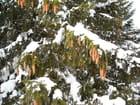 Sapin sous la neige (1)